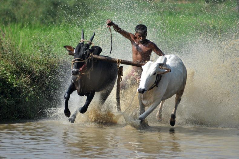 Bull Surfing in Kerala